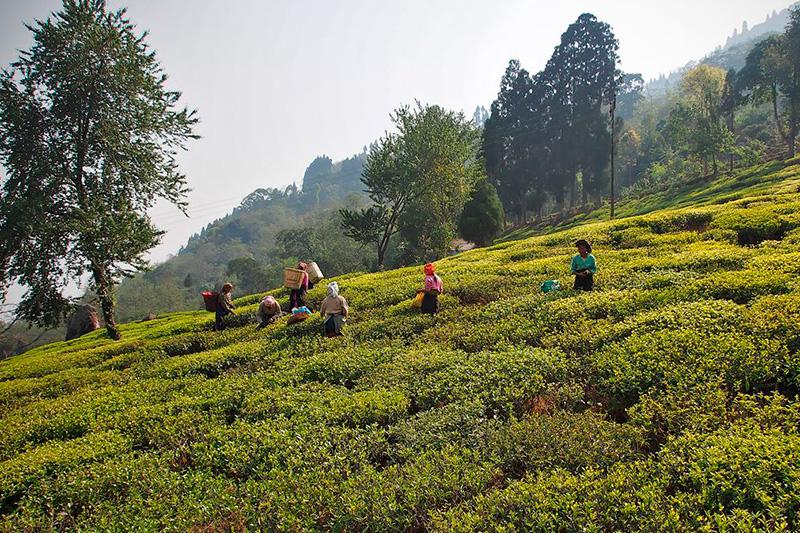 darjeeling glenburn tea state
